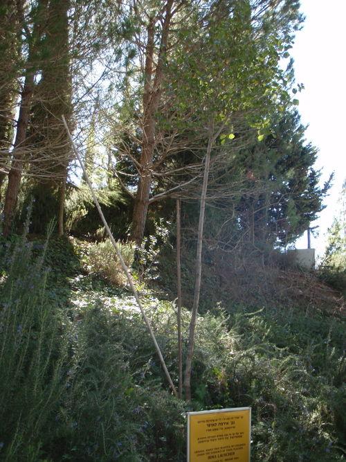 Tree from Terezin